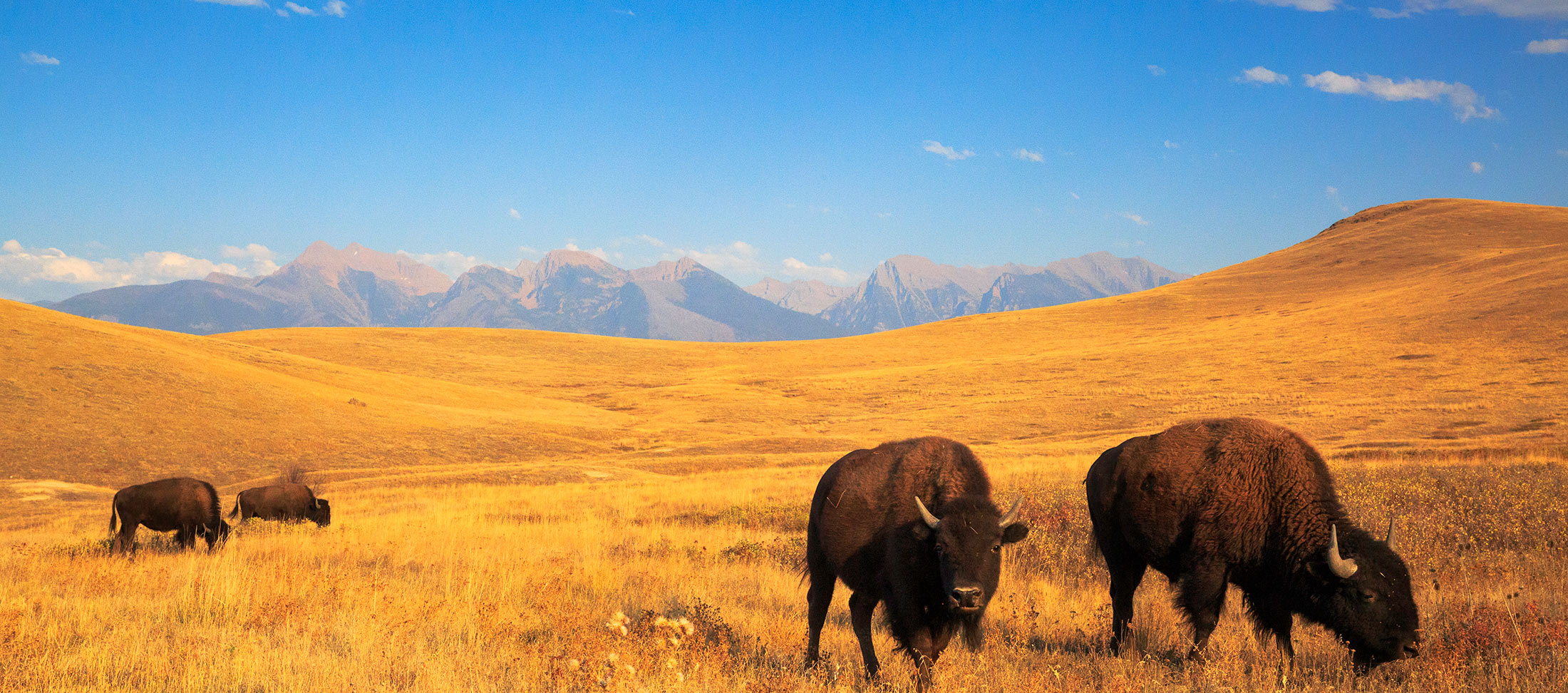 Do some wildlife viewing in the fall in Western Montana. Areas include the Lee Metcalf National Wildlife Refuge, Glacier National Park and the National Bison Range.